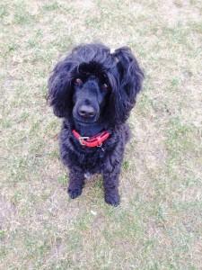 Svarta hunden Tila sitter på gräset och tittar upp mot kameran