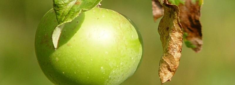 Ett grönt äpple på en kvist