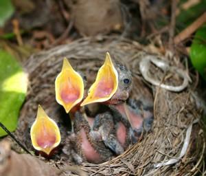 tre hungriga fågelungar i bo som sträcker upp näbbarna